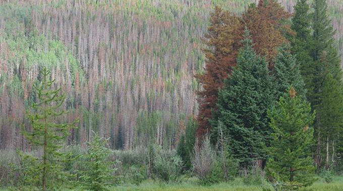 Schadstoffe aus China - Tote Bäume in den Rocky Mountains...